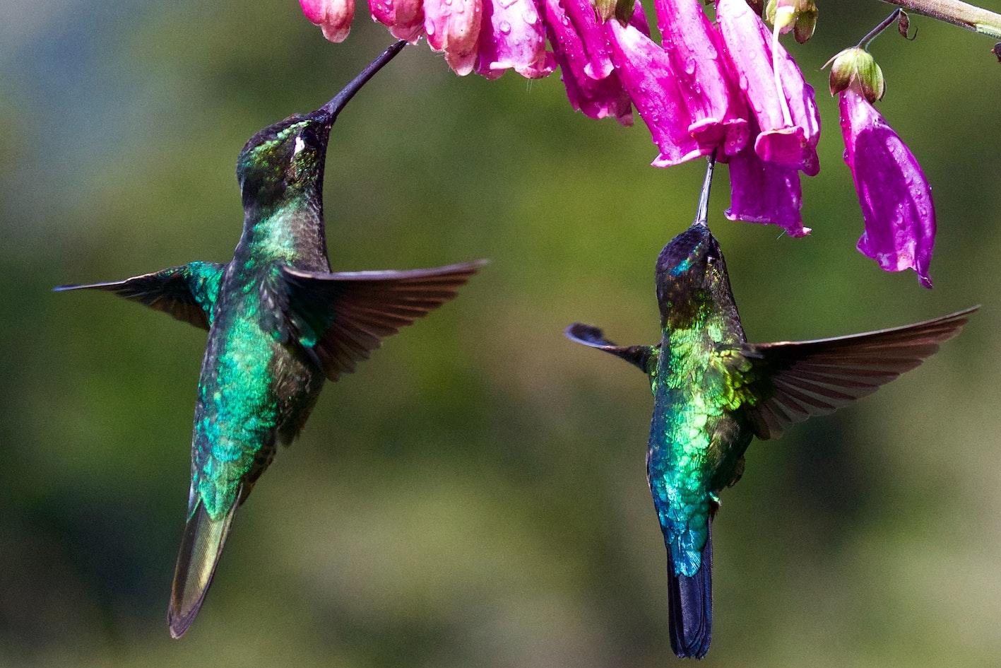 Hummingsbirds